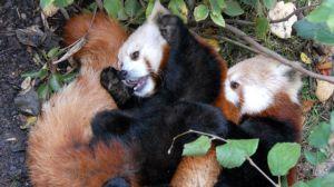 2 red pandas cuddling
