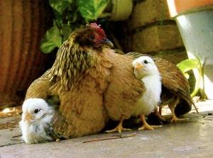 3 recued hens