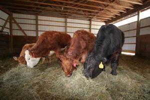 4 rescued cows_SASHA Farm Sanctuary