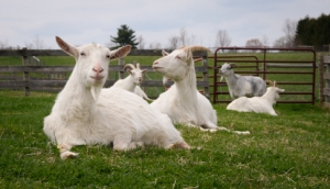 5 rescued goats