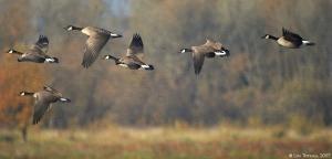 6 geese flying