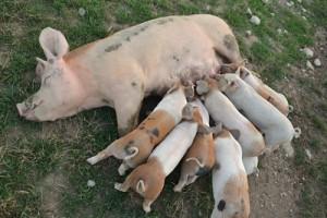 8 piggies nursing