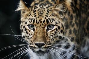 Amur Leopard!