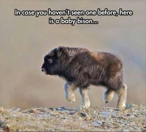babybison