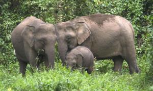 Borneo Pygmy Elephants!