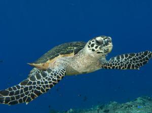 Hawksbill Turtle!