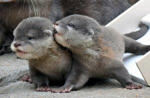 otter cub kissiefayces