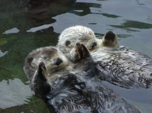 otters at swimtime