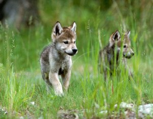 Wolf cubs!